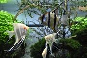 Скалярия Дантум Альбино(Pterophyllum Dantum Albino)