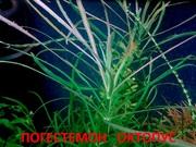 Погестемон октопус -- аквариумное растение и другие...