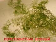 Зеленый перестолистник -- аквариумное растение и много других...
