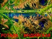 Ротала --- аквариумное растение и много разных растений.