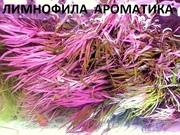 Лимнофила ароматика ---- аквариумное растение и разные растения.