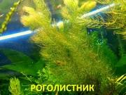 Роголистник -- аквариумное растение и много разных растений