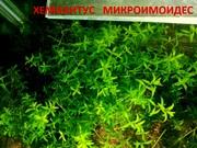 Хемиантус микроимоидес - аквариумное растение и много других растений