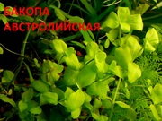 Бакопа австролийская ---- аквариумное растение и друг разных растений