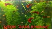 КРАСНАЯ -- АЛАЯ ---- гуппи -- чистая линия. аквариумные РЫБЫ