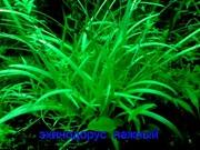 Эхинодорус тенелиус --- аквариумное растение и др. разные растения