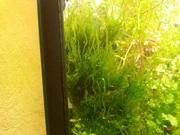 Мох стринг - аквариумное растение и много других ...
