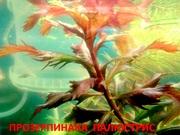 Прозерпинака палюстрис.. НАБОРЫ растений для запуска. ПОЧТОЙ и МАРШРУТ
