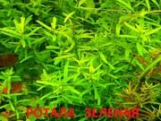 Ротала зеденая - аквариумное растение и много других разных растени-