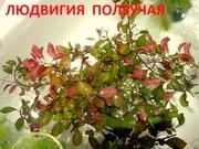 Людвигия ползучая -- аквариумное растение и много других растений...