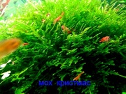 Мох крисмас -- аквариумное растение и другие растения ...