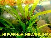 Гигрофила иволистная -- аквариумное растение и много других...
