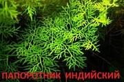Папоротник  индийский - -- аквариумное растение и много разных растений
