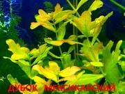 Дубок мексиканский -- аквариумное растение и много других растений аквари