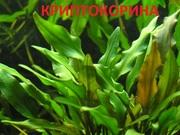 Криптокорина -- аквариумное растение и другие разные растения.