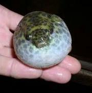 Рыба шар   Тетрадон зелёный