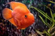 попугай оранжевый + 1 рыбка в подарок )
