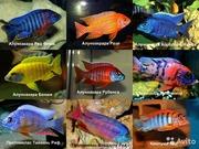 Более 40 видов разных цихлид )