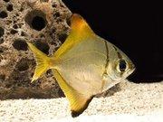 Монадоктил жёлтый