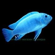 Метриклима голубая