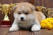 Милые щенки (Японской акита-ину Хатико)