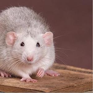 крысы разные разновидности, большой выбор