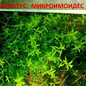Хемиантус микроимоидес -- аквариумное растение... и  другие растения..