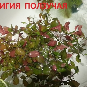 Людвигия ползучая --- аквариумное растение и др. разные растения.