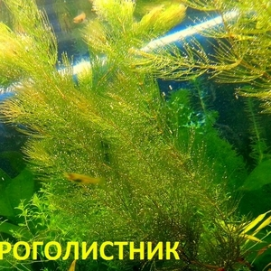 Роголистник -- аквариумное растение и много разных растений...