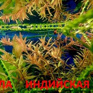 Ротала --- аквариумные растения и много других аквариумных растений.