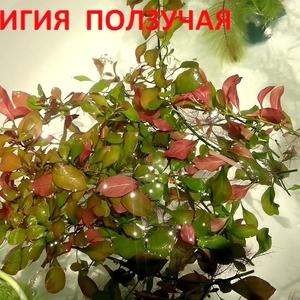 Людвигия ползучая --- аквариумное растение и другие разные растения. .