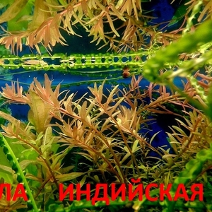 Ротала ---- аквариумные растения и много других аквариумных растений.