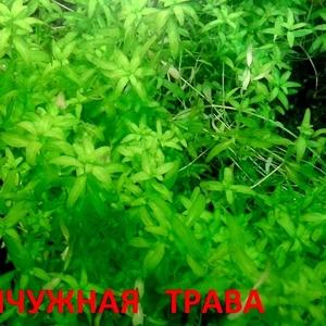 Жемчужная трава -- аквариумное растение и много других растений