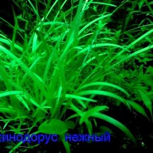 Эхинодорус тенелиус ---- аквариумное растение и др. разные растения.