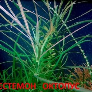 Погестемон октопус ---- аквариумное растение и другие растения-