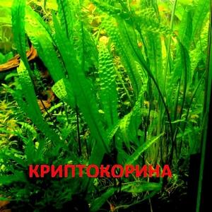 Криптокорина апогенолистная и др. растения - НАБОРЫ растений для запу