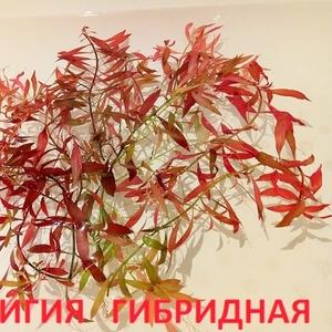 Людвигия гибридная и др. растения. НАБОРЫ растений для запуска акваса.