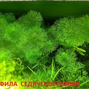 Лимнофила седячецветковая.. НАБОРЫ растений для запуска. ПОЧТОЙ и МАРШ