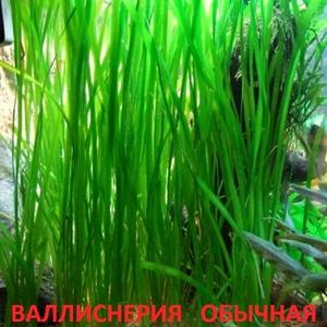 Валлиснерия обычная. НАБОРЫ растений для ЗАПУСКА и ПЕРЕЗАПУСКА аквас)