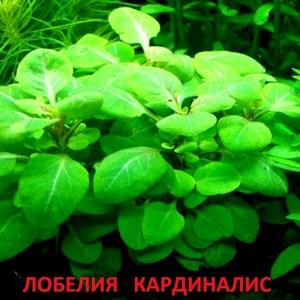 Лобелия кардиналис. НАБОРЫ растений для запуска акваса. ПОЧТОЙ отправ-