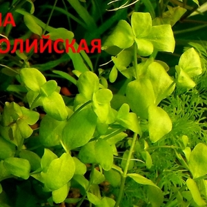 Аквариумные растения. Бакопа австролийская. Наборы для запуска. ПОЧТО=