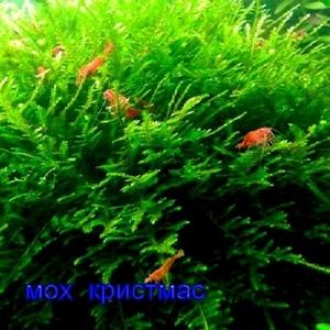 Мох крисмас --- аквариумное растение и другие растения.