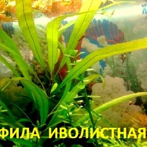 Гигрофила иволистная -- аквариумное растение и другие...