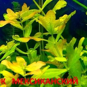 Дубок мексиканский -- аквариумное растение и разные растения.