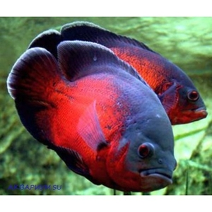 Астpoнотус красный