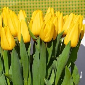 Сказочные Тюльпаны выгодно оптом.