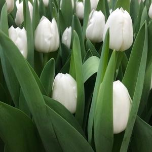 Цветы тюльпаны оптом в Минске