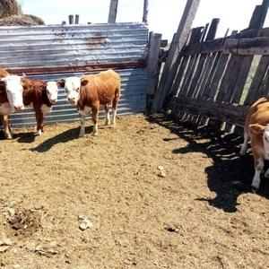 Купим коров у начеления