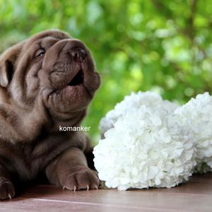Шарпей щенки из питомника окрас Шоколадный дильют.