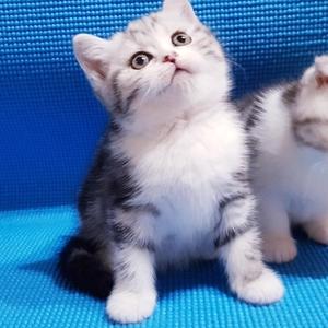 Шотландские очаровательные котята.